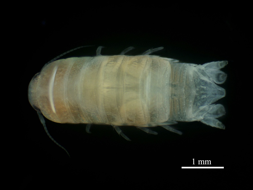PSU Researchers discover New Sea Cockroach Species with Important Ecological Role